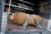 ABD0080_20171213 - GRAZ - ÖSTERREICH: ZU APA0315 VOM 13.12.2017 - Eine 250 Kilogramm schwere Fliegerbombe, die bei Bauarbeiten in der Conrad-von-Hötzendorf-Straße in Graz, nahe dem Stadion Liebenau entdeckt wurde, ist von den Spezialisten entschärft worden. Im Bild: Die Fliegerbombe wird abtransportiert. - FOTO: APA/ERWIN SCHERIAU
